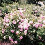 1990-rose demai 7